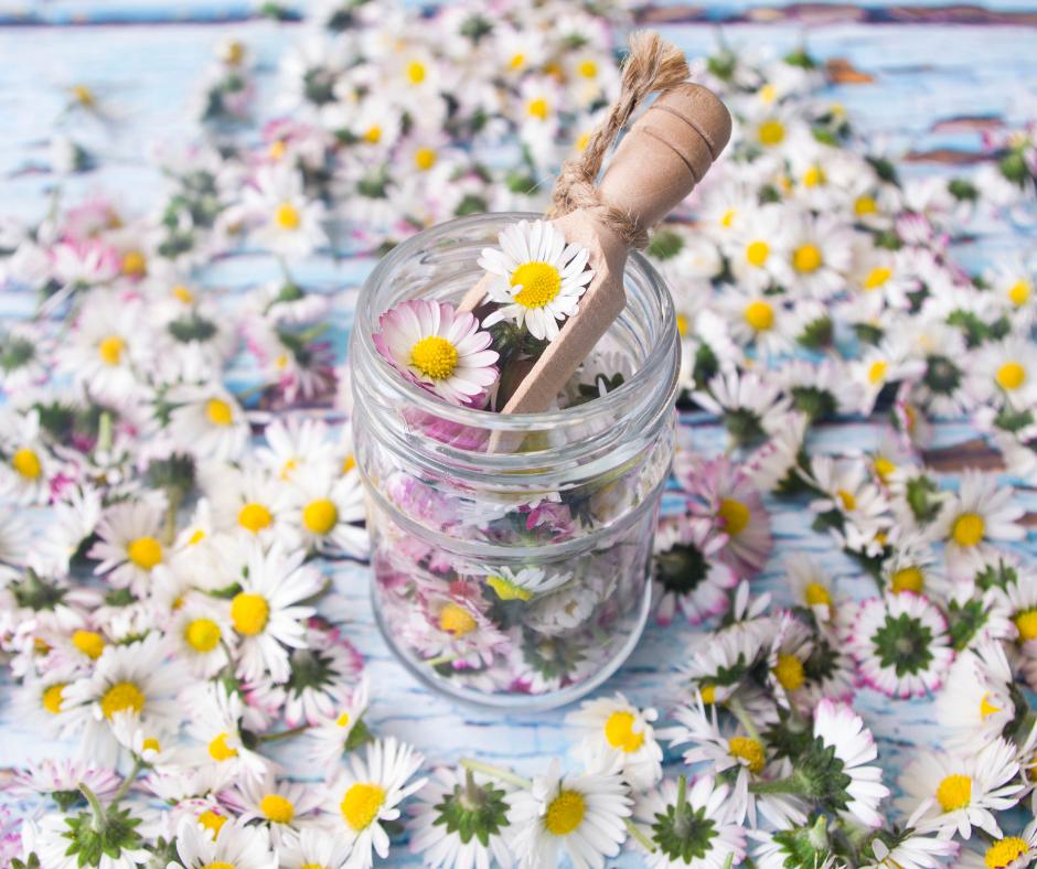 Gänseblümchen-Tinktur gegen Akne, Prellungen und kleine Wunden.